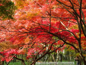 Nov29_JindaiBG_131_FallColor_MapleTreesRC