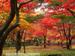 Nov29_JindaiBG_147_FallColor_MapleTreesRC