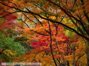 Nov29_JindaiBG_254_FallColor_MapleTreesRC