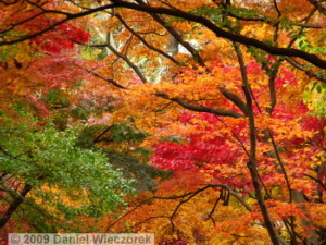 Nov29_JindaiBG_257_FallColor_MapleTreesRC