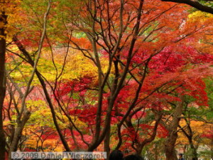 Nov29_JindaiBG_261_FallColor_MapleTreesRC