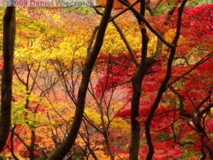 Nov29_JindaiBG_262_FallColor_MapleTreesRC