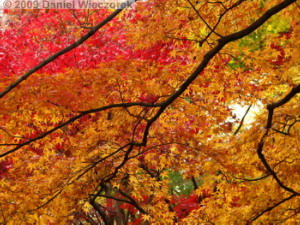 Nov29_JindaiBG_269_FallColor_MapleTreesRC
