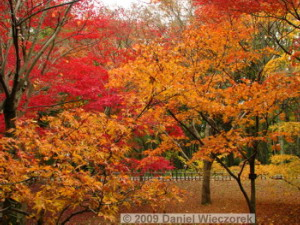 Nov29_JindaiBG_283_FallColor_MapleTreesRC