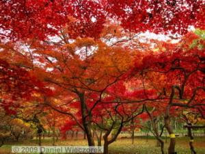 Nov29_JindaiBG_292_FallColor_MapleTreesRC