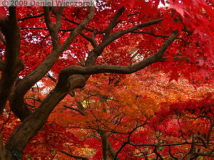 Nov29_JindaiBG_310_FallColor_MapleTreesRC
