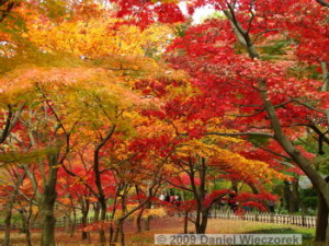 Nov29_JindaiBG_315_FallColor_MapleTreesRC