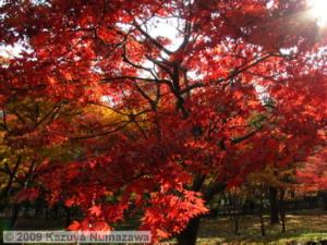 Nov29thJindaiBG_005_FallColor_MapleTreesRC