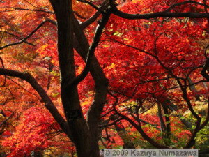 Nov29thJindaiBG_016_FallColor_MapleTreesRC