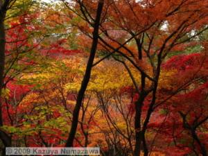 Nov29thJindaiBG_083_FallColor_MapleTreesRC