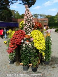 Nov7_JindaiBG_Chrysanthemum06RC