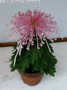 Nov7_JindaiBG_Chrysanthemum11RC