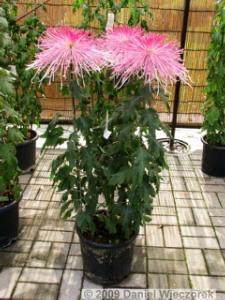 Nov7_JindaiBG_Chrysanthemum25RC
