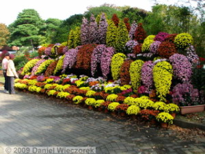 Nov7_JindaiBG_Chrysanthemum_Waterfall06RC