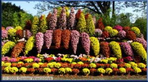 Nov7_JindaiBG_Chrysanthemum_Waterfall09CropPSRC