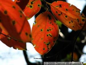 Nov7_JindaiBG_Persimmon_Leaves3RC