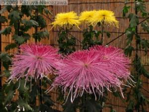 Nov7th_JindaiBG025_ChrysanthemumRC