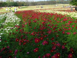 Oct31_ShowaKinenPk055_CosmosRC
