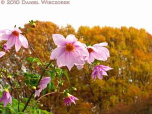 Nov12_068_JindaiBG_DahliaFlowerRC