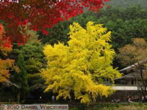 Nov13_205_Mitake_TamaRiverGinkgoRC
