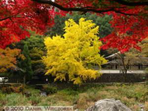 Nov14_018_Mitake_TamaRiverGinkgoRC