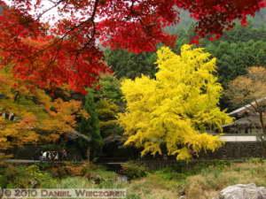 Nov14_024_Mitake_TamaRiverGinkgoRC