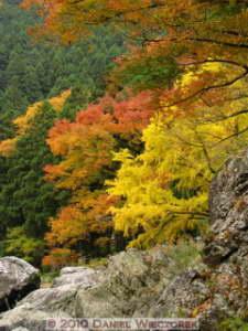 Nov14_110_Mitake_TamaRiverGinkgoRC