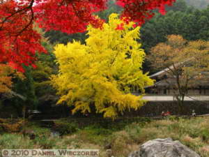 Nov14_189_Mitake_TamaRiverGinkgoRC