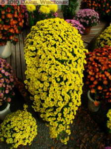 Nov6_015_JindaiBG_ChrysanthemumRC