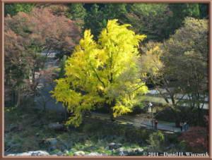 Nov18_02_TamaRiver_Mitake_FallColor_GinkgoRC