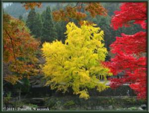 Nov18_129_TamaRiver_Mitake_FallColor_GinkgoRC