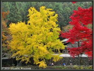 Nov18_140_TamaRiver_Mitake_FallColor_GinkgoRC