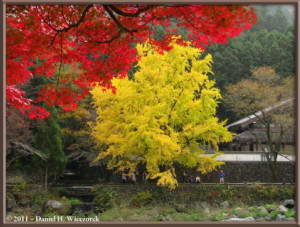Nov18_151_TamaRiver_Mitake_FallColor_GinkgoRC