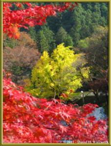 Nov18_58_TamaRiver_Mitake_FallColor_GinkgoRC