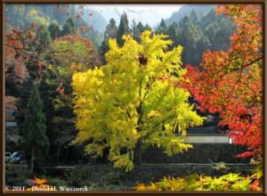 Nov18_75_TamaRiver_Mitake_FallColor_GinkgoRC