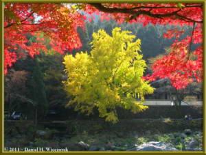 Nov18_78_TamaRiver_Mitake_FallColor_GinkgoRC
