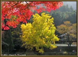 Nov18_84_TamaRiver_Mitake_FallColor_GinkgoRC