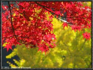 Nov18_93_TamaRiver_Mitake_FallColor_GinkgoRC