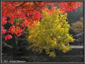 Nov18th_Mitake083_GinkgoRC