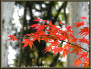 Nov5_008_MtMitake_FallColors_RedMapleRC