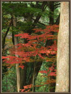 Nov5_037_MtMitake_FallColors_MapleRC