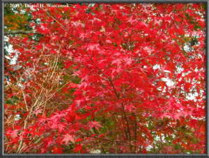 Nov5_044_MtMitake_FallColors_MapleRC