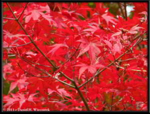 Nov5_045_MtMitake_FallColors_MapleRC