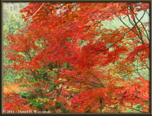 Nov5_069_MtMitake_FallColors_RedMapleRC