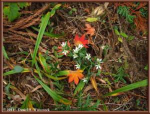 Nov5_161_MtHinode_Fall_Swertia_japonicaRC