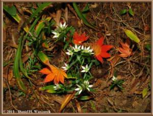 Nov5_165_MtHinode_Fall_Swertia_japonicaRC