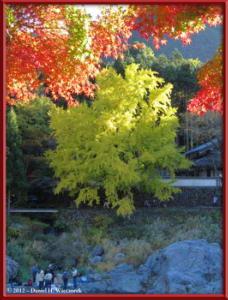 Nov10_234_Sawai_MitakeFallColors_GinkgoRC