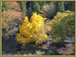 Nov18_178_MitakeSawai_FallColor_GinkgoRC