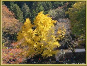 Nov18_196_MitakeSawai_FallColor_GinkgoRC