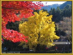 Nov18_207_MitakeSawai_FallColor_GinkgoRC